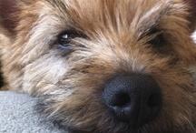 Cairn terrier / Eddie