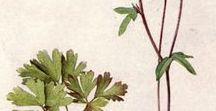 Washington Wildflowers / Wildflowers of Washington and the Pacific Northwest. Foraging.