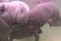 Manatees..I wuv them!! / by Janet Michael