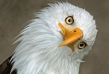 Magnificent Bald Eagles / by Dodie Dee