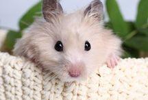 Hamsterit, marsut ja muut jyrsijät