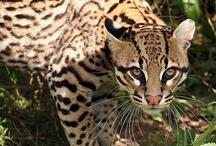 Big & Wild Cats / by Patty Dijigov