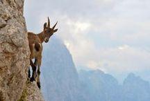 Artiodactyla / pigs, peccaries, hippopotamuses, camels, giraffes, okapis, pronghorn, antelopes, sheep, goats, and cattle / by Patty Dijigov