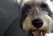 Schnoodles :) / All things schnoodle, with a focus on my Shaggy dog!