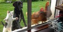 Om het 'huis dieren'. Domesticated animals. / Huisdieren. Pets.