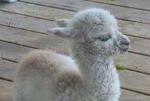Alpaca Addiction / Says it all.
