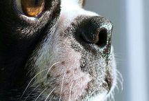 Boston Terriers / by Wendy Derblich