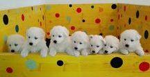 cuccioli pastore svizzero: B Litter / Youky's Gift B Litter puppies: One Together della Corte dei Delfini Bianchi X Beautiful Eirene
