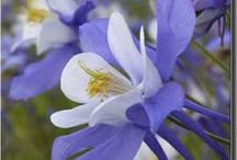 Columbines / The state flower of Colorado / by Steve Garufi