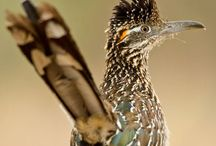 Roadrunners / The state bird of New Mexico