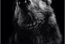 ♥Love wolves♥