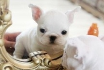frenchie love / by Starr Nordgren