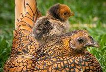 Clucker McGees / Chicken Love