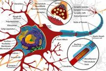 Anatomy and Physiology Interactives and Diagrams