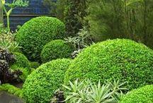 Boxwood & topiary / Buis ~ Buchsbäume