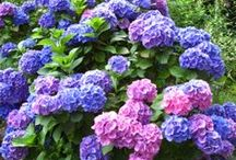 Hydrangea / Hydrangeas are one of my favorite plants in the garden. I love their colours!
