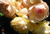 Roses / Roses, roses, roses