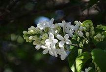 White Garden / Le jardin aux fleurs blancs