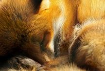 Foxes / Le Renard (Vulpes vulpes)