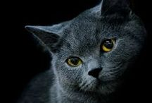 Cats: British Shorthair / Fluffy and soft and gentle ♡♡♡