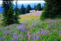 Flower Meadows / Flower meadow - Blumenwiese - Champ de Fleurs - Wildflowers