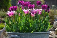 Spring bulbs / Ornamental bulbs - Tulips & co