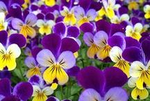 Pansies & Violets / The Viola family