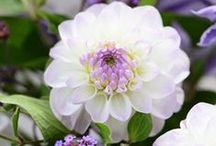 Dahlia / I used to think Dahlias are for old ladies. So maybe I'm old, or maybe I was wrong :)