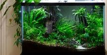 Aquarium Plants! / #Planted #aquariums create a safe and healthy #environment for your #fish!   Please message if you would like to join this board!   #aquarium #aquacape #planted #aquariums #plants #planted #tanks #fishtank #plants #indoor #water #garden #aqua #aquariumplants #low #light #Co2 #for #beginners #DIY #easy #tropical #carpet #nature #design #colorful #forground #background #improve #filtration #healthy #aquascape #fenshui #calm #relax #best #freshwater #plant #dirted #aqua #scaping #howto #stepbystep