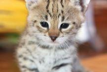 Котята Саванна F1 питомник SoulCats / В питомнике SoulCats Вы можете купить экзотического котенка: Чаузи F1, Саванна F1, котёнка Сервала.   www.soulcat.ru