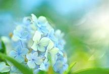 """Heavenly Hydrangea / """"Even in the smallest and humblest garden, a sturdy hydrangea at once proclaims the place as the abode of a real gardener rather than a mere purchaser of plants to cover the landscape.""""  –Washington Park Arboretum Bulletin, 2006"""