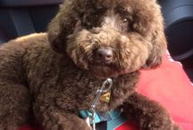 Billie / My Chocolate Toy Poodle