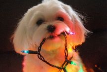 Maltese Dogs~Love <3 / For the love of the Maltese ❤️ Please-Follow me or my boards for unlimited pinning!  Thank You!