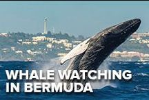 Whale Watching: Bermuda's Best Kept Secret / Bermuda isn't just about summer activities. Spring is when the Bermuda's wild beauty, the majestic whales make their annual arrival to our crystal waters. Put that on your Bermuda to do list...
