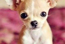 ❤ Chihuahua : chien ❤ / Les chihuahuas, mes chiens préférés même si je les aime tous :)