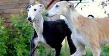 Lévriers & Galgos : chien / Les plus beaux chiens du monde et les plus gentils !!!!
