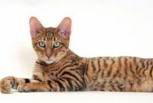 The Toyger Cat / A tiny tiger, proud to own one.