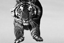 TIGAZ / Tigers
