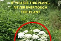 Dangerous Herbs & Plants / Deadly herbs and plants list, poisonous herbs for humans, poisonous plants used for medicine, common harmful plants, plants that cause paralysis.