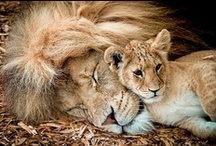 Animals of the Wild / Lions, and Tigers and Bears ~ Oh, my!