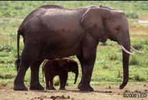 """Elephants / """"I meant what I said and I said what I meant. An elephant's faithful one-hundred percent!""""  ― Dr. Seuss, Horton Hatches the Egg"""