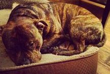 #Hankthetank / All about my beautiful pitbull and my love of dogs / by Newworldmom - Darla Halyk