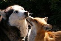 Huskies & Foxes