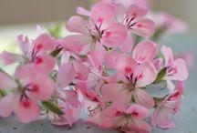 Pelargoner - geranium / by Jenny-Anne Hugosson