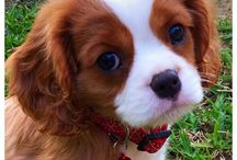 My other child / Kingsley is a King Charles Cavalier, and the newest addition to our family.  The sweetest best dog we could ever hope to have.  Love to spoil him!