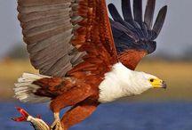 Eagles, Hawks & Raptors