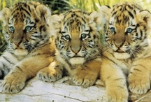 Animals / Lions, tigers, and bears, oh my! If you're looking for animal images, check out our AllPosters favorites in wildlife photography and cute pictures. It's raining cats and dogs in our collection of animal posters:  http://go.art.com/V51eGuZ