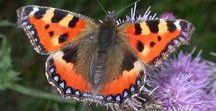 Papillons et chenilles de chez nous