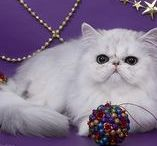 Persian cats cattery White Valley / https://white-valley.jimdo.com/ контакты:  г.Волгоград.  Кобытова   Лариса Львовна Тел.   8-902-360-62-83   (8442) 97-31-06     E-mail: aisedora56@mail.ru