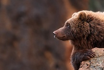 The Bears / Karhuja